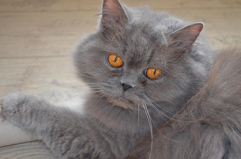 british-longhair